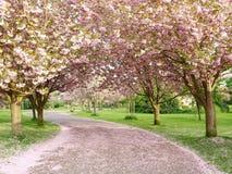 开花樱桃被排行的路径 库存照片