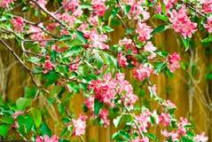 开花樱桃路径 库存图片