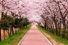 开花樱桃道路 库存照片
