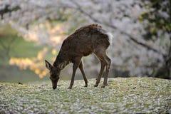 开花樱桃鹿日本通配的奈良 免版税图库摄影