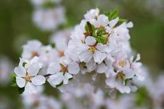 开花樱桃 免版税库存图片
