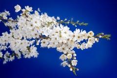 开花樱桃 图库摄影