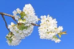 开花樱桃 免版税图库摄影