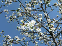 开花樱桃 库存图片