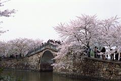 开花樱桃 免版税库存照片