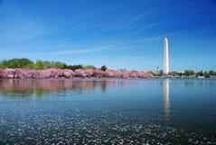 开花樱桃dc华盛顿 免版税库存图片