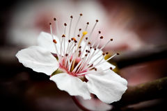 开花樱桃ii宏指令 库存照片