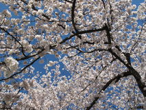 开花樱桃kenwood结构树 免版税图库摄影