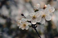 开花樱花 抽象背景本质春天 Eco季节概念 库存图片