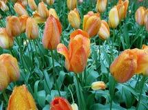 开花橙色和黄色同色而浓淡不同的颜色郁金香花在春天阵雨 免版税库存图片