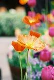开花橙色鸦片 库存图片