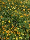 开花橙黄色 库存照片
