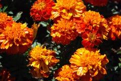开花橙黄色 图库摄影