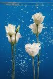 开花水下落泡影蓝色背景白色玫瑰翠菊菊花里面下 免版税库存图片