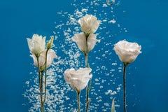 开花水下落泡影蓝色背景白色玫瑰翠菊菊花里面下 库存照片