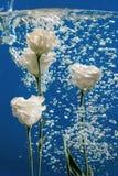 开花水下落泡影蓝色背景白色玫瑰翠菊菊花里面下 库存图片