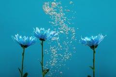 开花水下落泡影蓝色背景白色玫瑰翠菊菊花里面下 免版税库存照片
