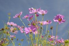 开花沿在SC的州际公路的桃红色和紫色花 免版税库存图片
