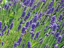 开花法国淡紫色 免版税图库摄影