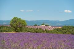 开花法国淡紫色 库存图片