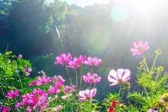 开花波斯菊在绿色草甸或庭院开花在与火光和深绿或蓝色背景的晴天 免版税库存照片