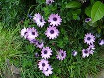 开花浅紫色 库存照片