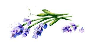 开花淡紫色 在白色背景隔绝的水彩手拉的例证 库存照片