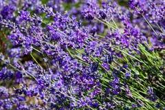开花淡紫色 库存照片