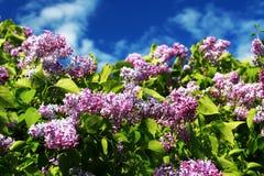 开花淡紫色sp紫丁香属植物 免版税图库摄影