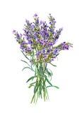 开花淡紫色 水彩医疗草本 向量例证