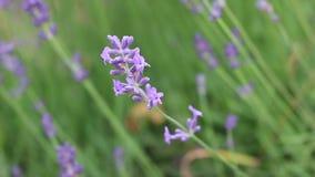 开花淡紫色紫色 影视素材