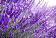 开花淡紫色 免版税图库摄影