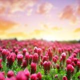 开花深红色三叶草在日落的车轴草incarnatum的领域 库存照片