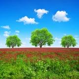 开花深红色三叶草车轴草incarnatum的领域在好日子 免版税库存照片
