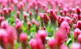 开花深红色三叶草车轴草incarnatum的领域紧密  库存照片