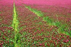 开花深红色三叶草车轴草incarnatum的领域紧密  库存图片