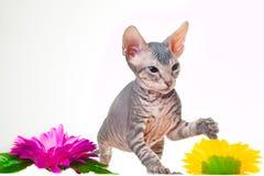 开花灰色小猫紫色sphinxith 库存照片