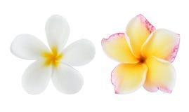 开花热带杏仁奶油饼的羽毛 图库摄影