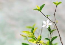 开花热带白色 背景蓝色云彩调遣草绿色本质天空空白小束 选择聚焦 免版税库存照片