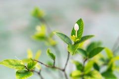 开花热带白色 背景蓝色云彩调遣草绿色本质天空空白小束 选择聚焦 库存照片