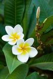 开花热带的杏仁奶油饼 图库摄影
