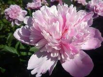 开花牡丹粉红色 库存图片