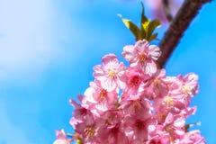 开花特写镜头的樱桃,日本 免版税图库摄影