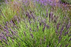开花特写镜头详细资料淡紫色工厂紫罗兰色白色 库存图片