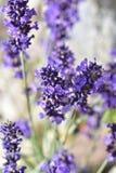 开花特写镜头详细资料淡紫色工厂紫罗兰色白色 图库摄影