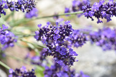 开花特写镜头详细资料淡紫色工厂紫罗兰色白色 免版税库存照片