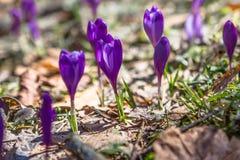开花狂放的番红花,番红花狂放在早期的春天,第一绿叶的萌芽从雪,乌克兰喀尔巴汗下面的 免版税库存图片