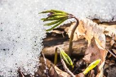 开花狂放的番红花,番红花狂放在早期的春天,第一绿叶的萌芽从雪,乌克兰喀尔巴汗下面的 免版税图库摄影