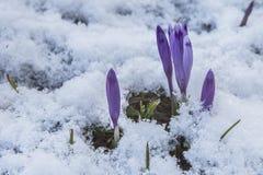 开花狂放的番红花,番红花狂放在早期的春天,第一绿叶的萌芽从雪,乌克兰喀尔巴汗下面的 图库摄影