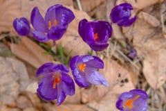 开花狂放的番红花,番红花狂放在早期的春天,第一绿叶的萌芽从雪,乌克兰喀尔巴汗下面的 免版税库存照片